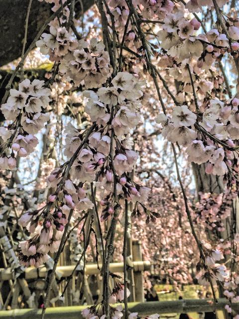 Sakura -cherry blossoms, Nara, Japan