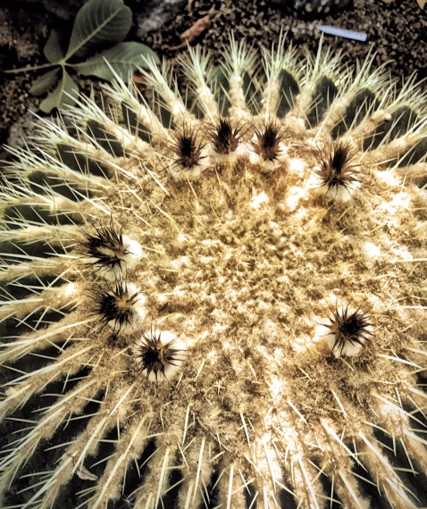 Enchinocactus grusonii, or Barrel cactus.