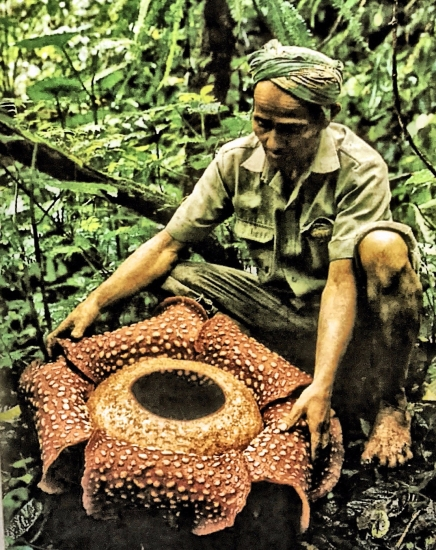Photo of man with the parasitic Rafflesia plant of South East Asia. Yoni plant