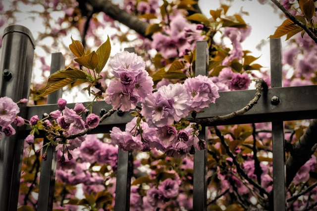 Before the Japan Mint in Osaka opened, I was along to Dojimagawa Riverfront to photograph the last of the cherry blossoms there. The mint was still closed, but I snapped this picture of them behind the gates! Photo by Sydney Solis