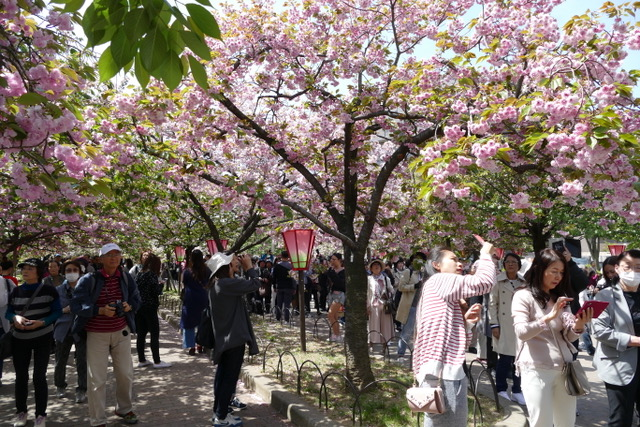 Watching the hoards of people enjoying and photographing the cherry blossoms at the Japan Mint in Osaka is an event in itself! Photo by Sydney Solis