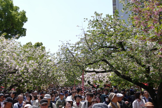 Hoards of people viewing the cherry blossoms at the Japan Mint in Osaka. Photo by Sydney Solis.