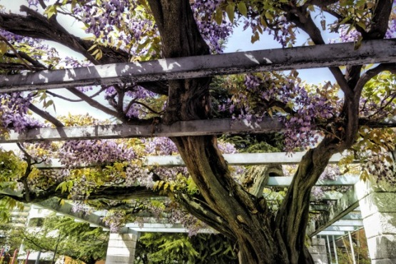 Wisteria in Osaka this past April. Gorgeous! Nature is a big healer! Photo by Sydney Solis