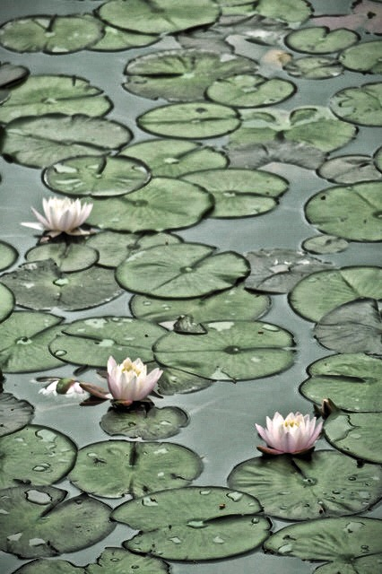 Lotuses at Byodoin Buddhist Temple in Uji, Kyoto, Japan. Photo by Sydney Solis.