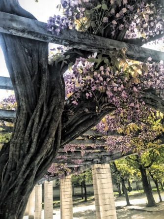 Wisteria in bloom in Osaka, Japan. Photo by Sydney Solis.