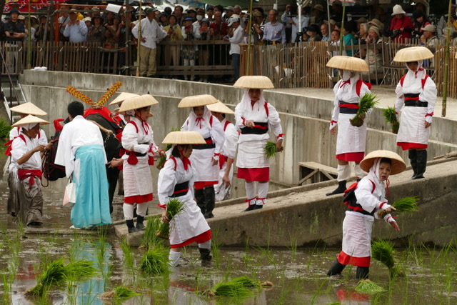 Women planting rice in the field at Sumiyoshi Taisha Shinto Shrine during Otaue. Photo by Sydney Solis.
