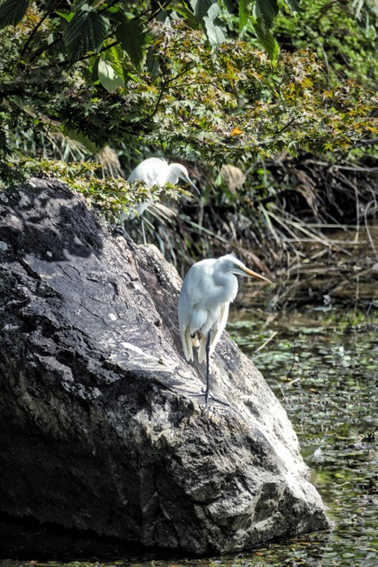 Great White Egret at Osawa Pond, Daikakuji Temple Ikebana Exhibition. Photo by Sydney Solis