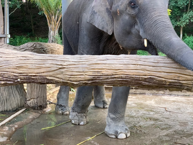 Elephant abuse at Chang Puak Camp in Chiang Rai, Thailand
