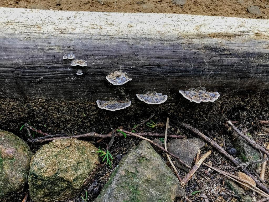 Fallen log with mushroom on it along the Kumano Kodo.