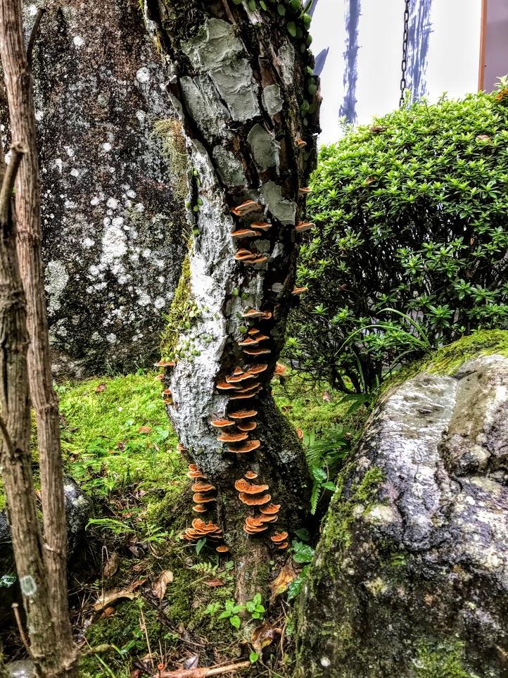 Tree with mushrooms at Hongu Taisha Shinto Shrine