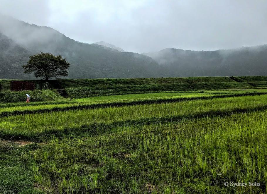 Kumano Kodo: Oyunohara 大斎原 rice fields.