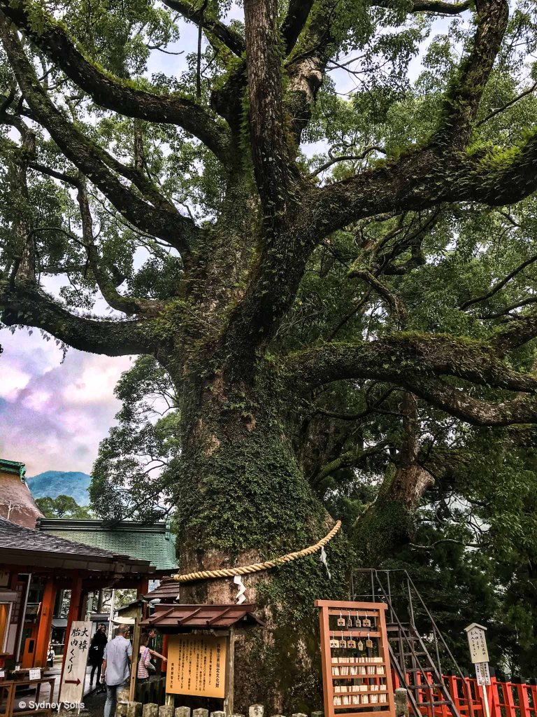 An 850-year-old Goshinboku, sacred camphor tree, at Nachi Taisha Grand Shrine, Wakayama Prefecture, Japan greets pilgrims walking the Kumano Kodo.