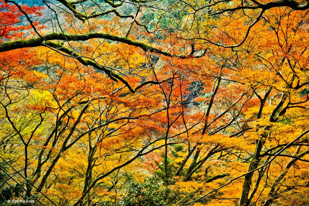 Autumn  leaves in Minoo, Osaka, Japan by Sydney Solis