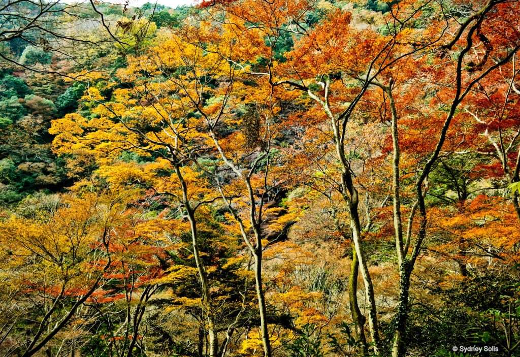 Autumn Trees in Minoo, Osaka, Japan by Sydney Solis.