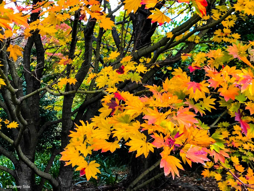 Fall maple leaves in Tokyo, Japan photo by Sydney Solis.